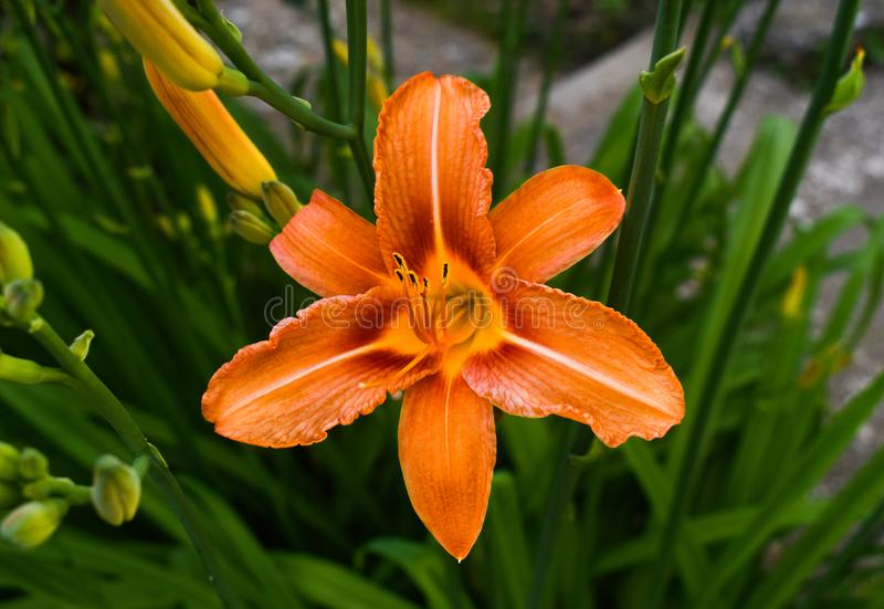 Bright orange lily flowers in the sunny garden. Lilium bulbiferum, common names orange lily,[2] fire lily and tiger lily, is a. Bright orange lily flowers in the royalty free stock images