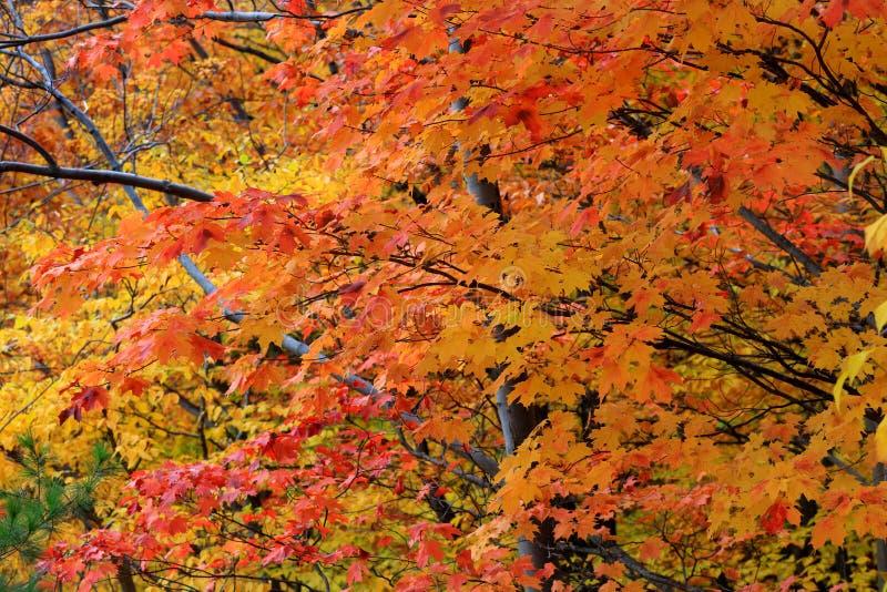 Bright orange Maple leaves against white sky stock image
