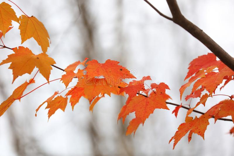 Bright orange Maple leaves royalty free stock photography