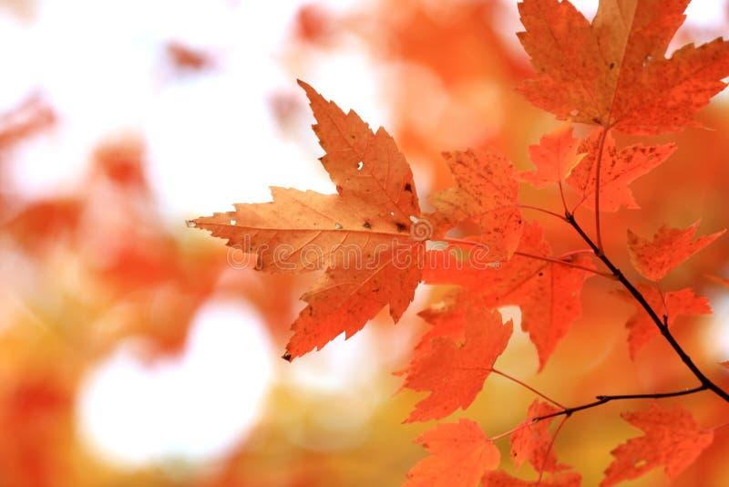 Bright orange Maple leaves close up royalty free stock image