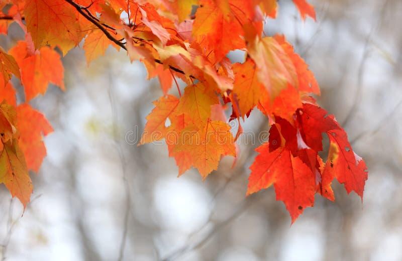 Bright orange Maple leaves close up stock images