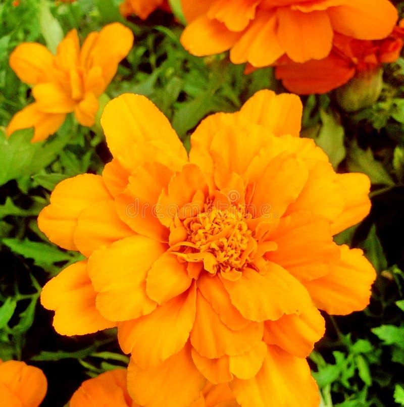 Bright orange Marigold flowers stock images