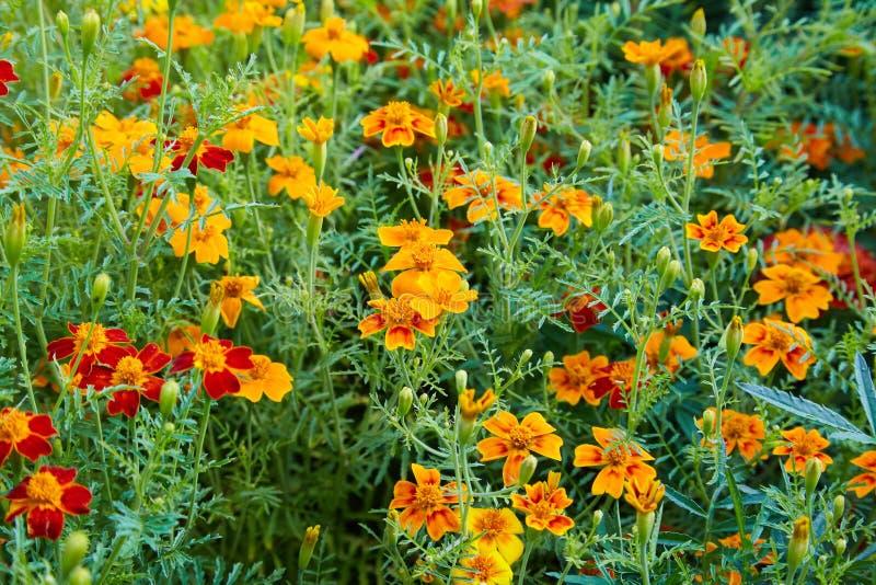 Bright orange marigold flowers closeup. Blackbringer flowerbed stock photography