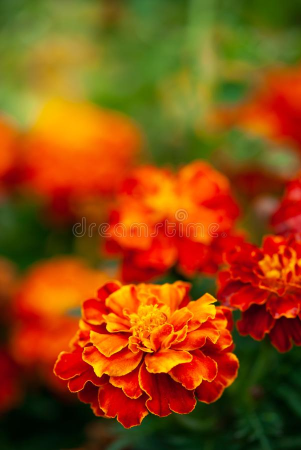 Orange and Red Marigold. Bright orange marigold flowers grow in a garden in summertime royalty free stock images