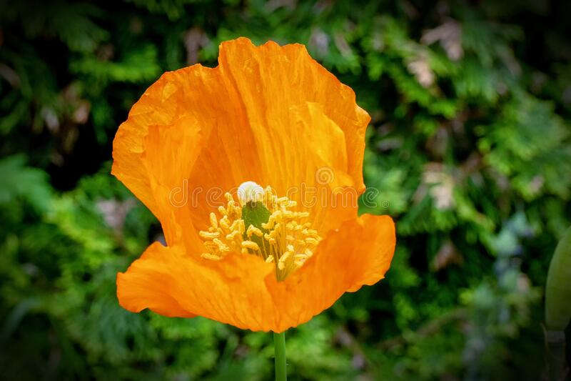 Bright orange poppy flower is isolated against a dark green background. A close up of an orange open petaled poppy flower is shown against a dark green stock images