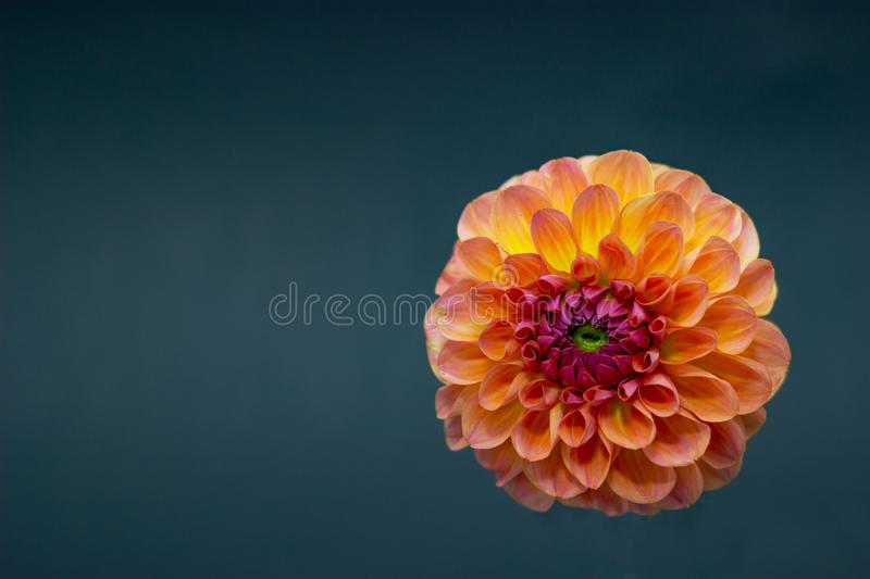 Bright orange red dahlia flower on a dark background isolated royalty free stock image