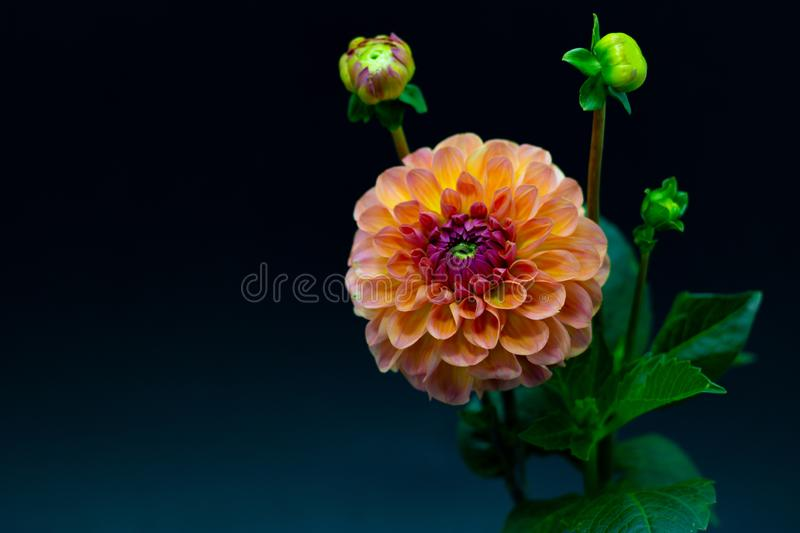 Bright orange red dahlia flower on a dark background isolated royalty free stock photo