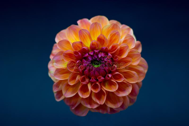 Bright orange red dahlia flower on a dark background isolated royalty free stock photos