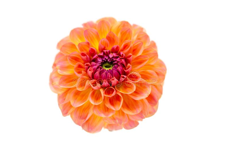 Bright orange red dahlia flower on a white background isolated stock photography