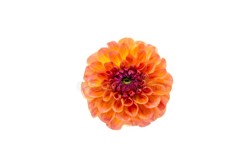 Bright orange red dahlia flower on a white background isolated royalty free stock image