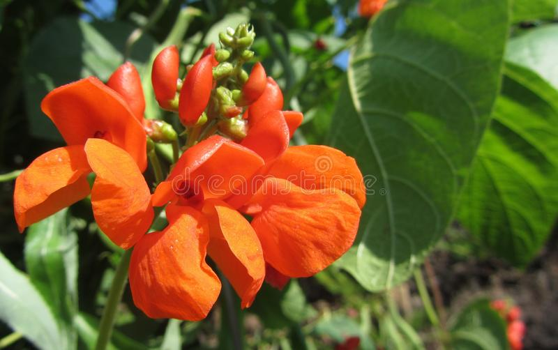 A bright orange runner bean flower. With green leaves surrounding it, on a bright summers day in England stock photos
