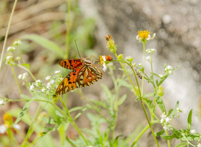 Under Wing of Gulf Fritillary Butterfly stock image
