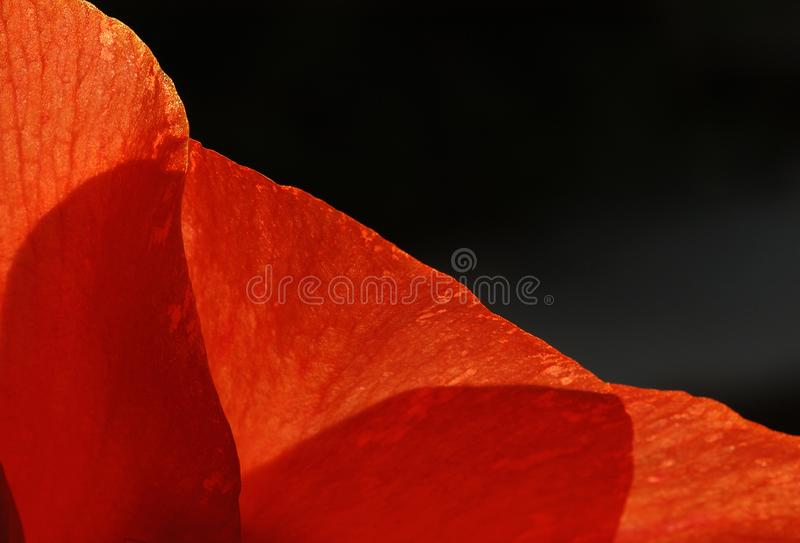 Bright orange textured canna lily petals. Bright orange textured canna lily petals are backlit by sunrise stock images