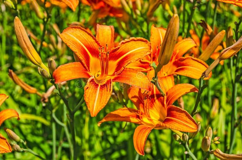 Bright Orange Tiger Lilies stockbild