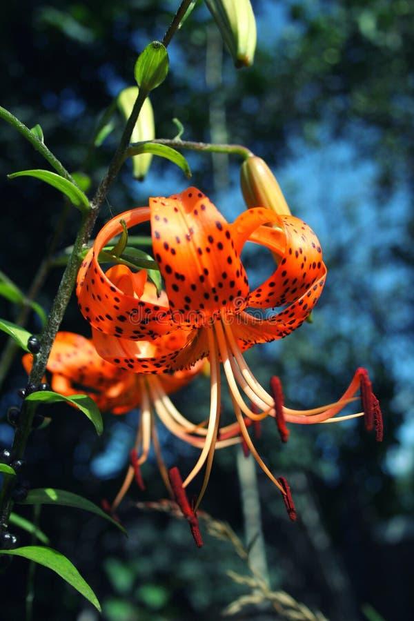 Bright orange tiger Lily close up royalty free stock photo