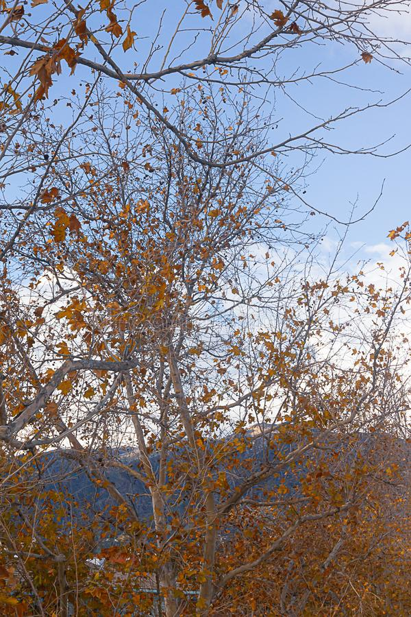 Bright orange trees against blue sky with clouds. Birght orange twisting tree branches against a bright blue sky with white clouds stock photography