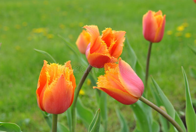 Bright orange tulips on juicy green background royalty free stock photo