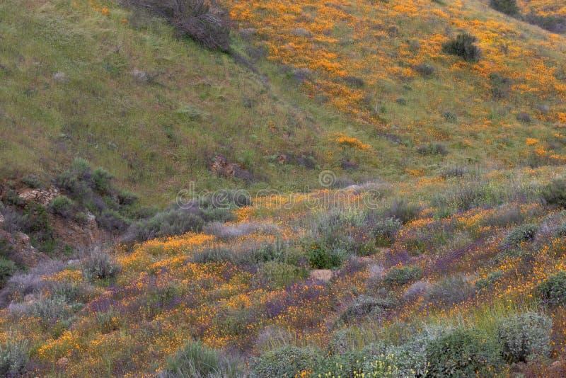 Bright orange vibrant vivid golden California poppies, seasonal spring native plants wildflowers in bloom. Bright orange vibrant vivid golden California poppies royalty free stock images