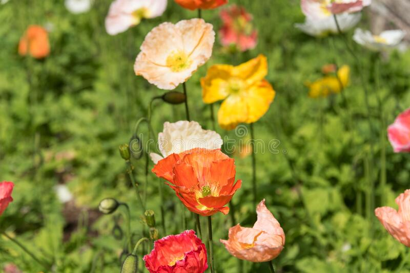 Bright orange and yellow decorative or oriental poppy flowers royalty free stock photography
