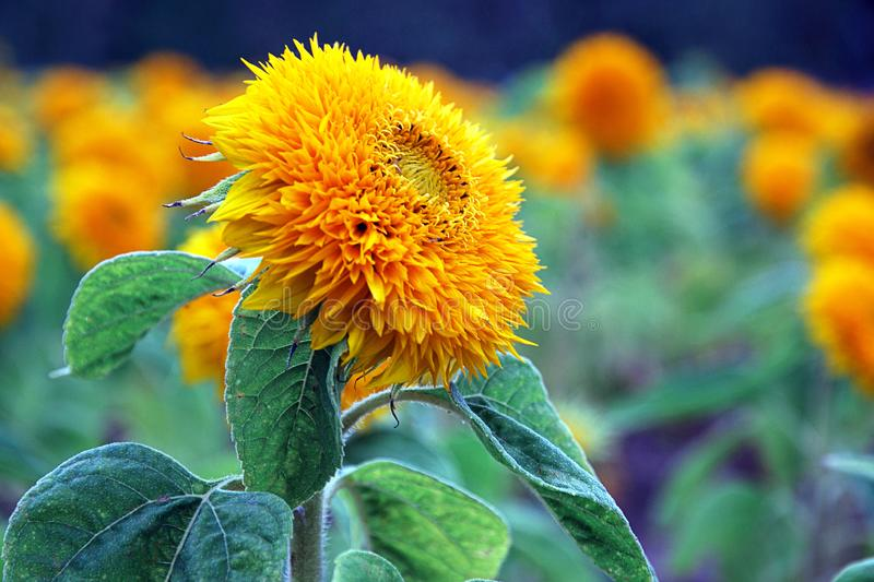Terry decorative sunflower field. Color therapy, uplifting orange royalty free stock photo