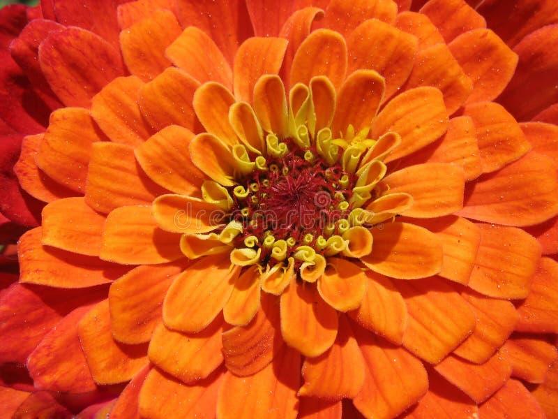 Bright orange zinnia close up royalty free stock photos