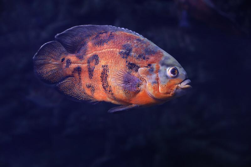 Bright oscar fish swimming in clear aquarium. Bright oscar fish swimming in clear royalty free stock photo