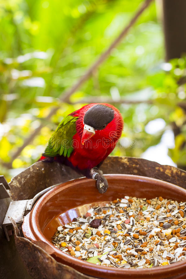 Bright parrot is feeding from bowl with seeds in Loro Park (Loro Parque), Tenerife royalty free stock photos