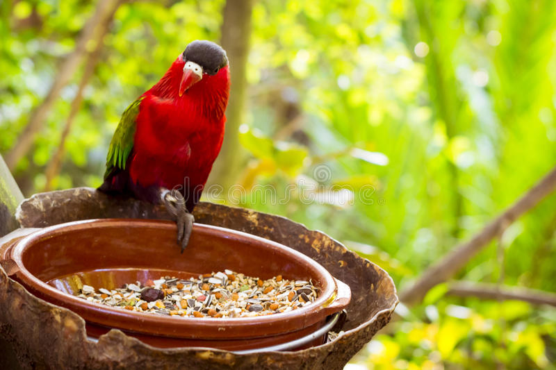 Bright parrot is feeding from bowl with seeds in Loro Park (Loro Parque), Tenerife. TENERIFE, SPAIN - JANUARY 15, 2013: Bright parrot is feeding from bowl with royalty free stock photos