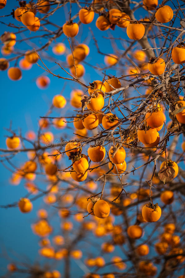 Bright persimmons on the branches. stock image