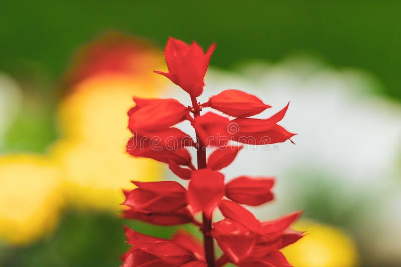 Bright petals of a red meadow flower in a flower field. Lobelia cardinalis fulgens in a public park.  royalty free stock photography