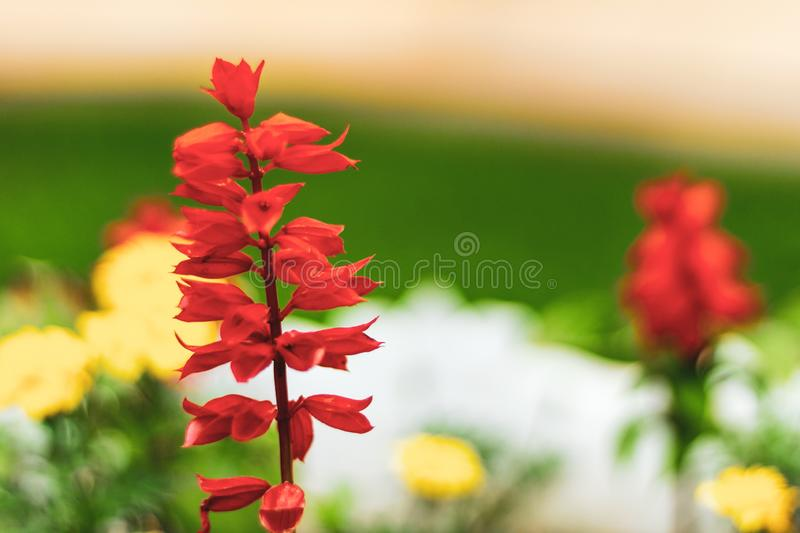 Bright petals of a red meadow flower in a flower field. Lobelia cardinalis fulgens in a public park.  royalty free stock photos