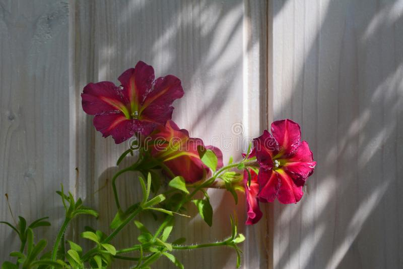 Bright petunia flowers on the background of wooden wall. Home greening.  stock photo
