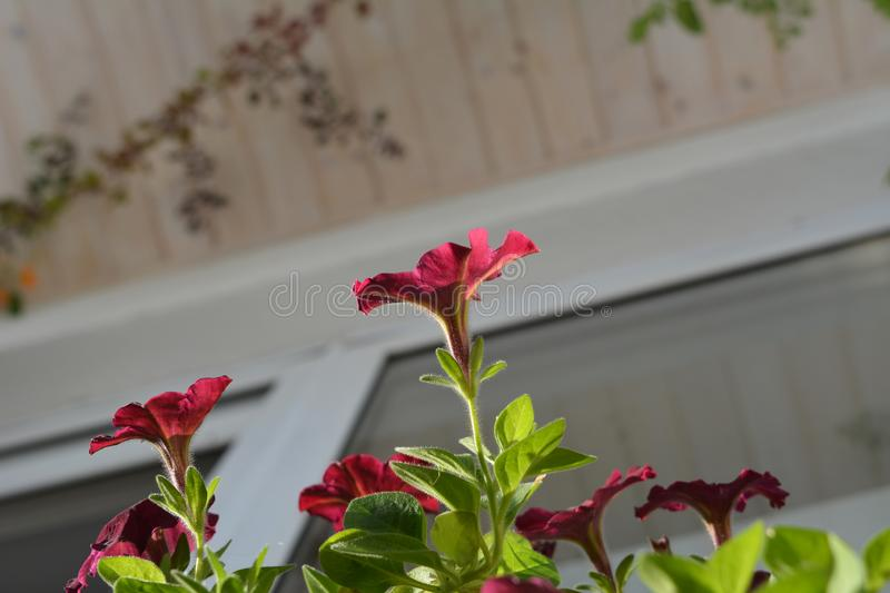 Bright petunia flowers in balcony greening. View from below.  stock photography