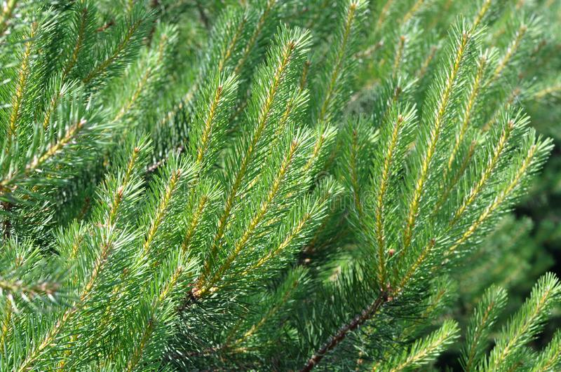 Download Bright pines stock photo. Image of biology, beauty, plant - 14873082