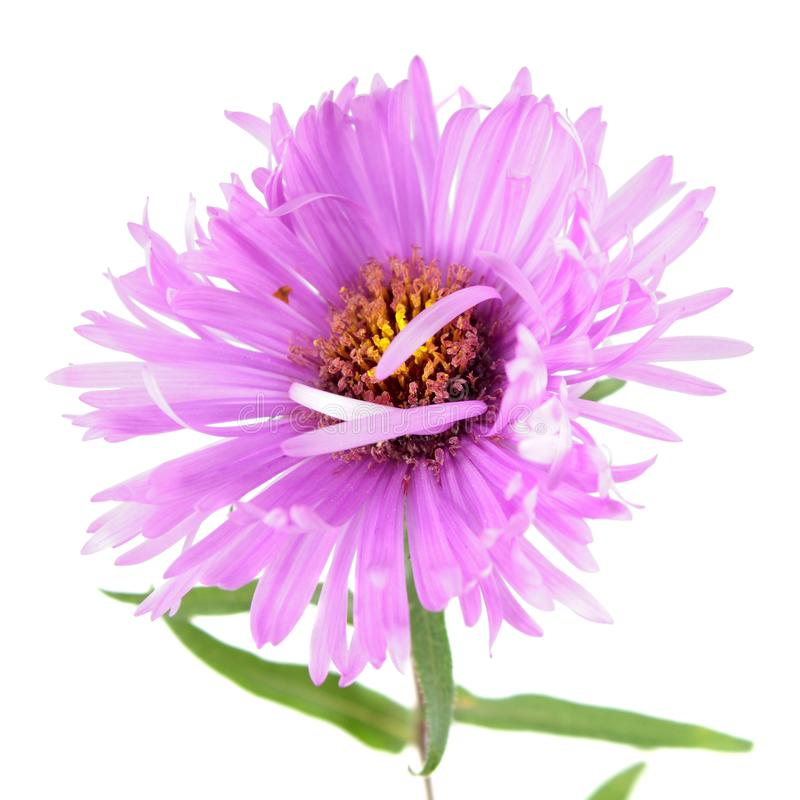 Bright pink aster flower isolated on white. Background royalty free stock photography