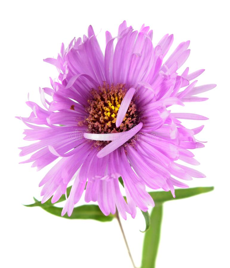 Bright pink aster flower isolated on white. Background royalty free stock photos