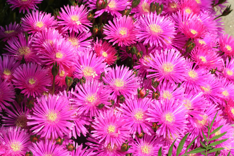Bright pink asters in full sun royalty free stock photo
