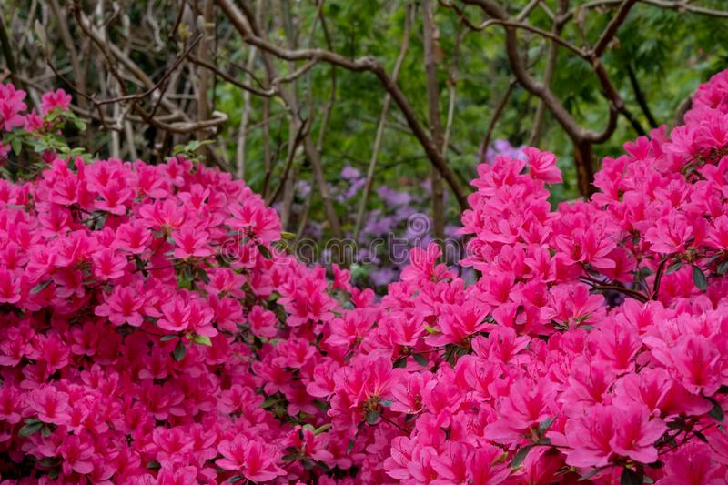 Bright pink azalea flowers in bloom in spring. Photographed in Surrey, UK. Bright pink azalea in bloom in spring. Photographed in Surrey, UK royalty free stock photos