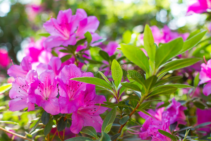 Bright pink azalea. In the botanical garden royalty free stock photography