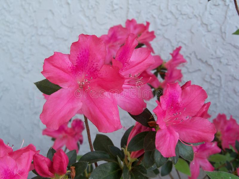 Bright pink Azaleas bloom. Against a gray stucco wall in February royalty free stock image