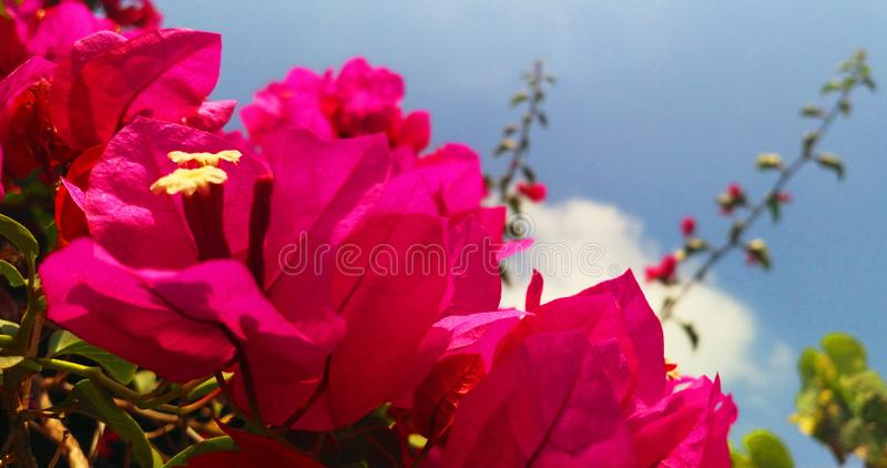 Bright Pink Bogainvillea Flowers in Summer. A Bright Pink Bogainvillea Flowers in Summer close up image stock image