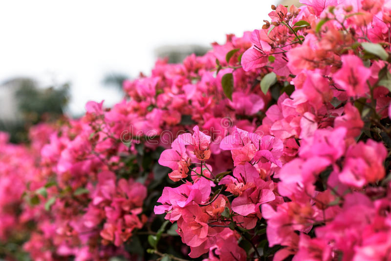 Bright Pink Bougainvillea. Blossoms against a blue, cloudless sky in the Mediterranean Santorini, Greece stock image