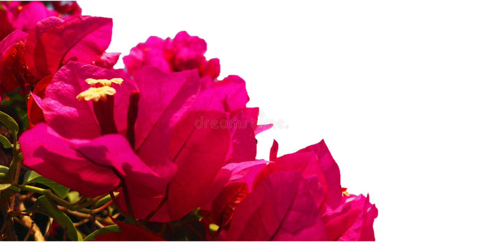 Bright Pink Bougainvillea Flowers on a white background. Bunch of Bright Pink Bougainvillea Flowers on a white background royalty free stock photography