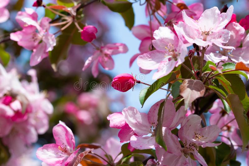 Bright pink bud of the spring flower of the fruit tree - garden decorative apple tree. With pastel bokeh royalty free stock photo