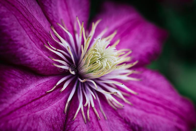 Bright pink clematis close up. Garden climbing flowers with white stamens. Large textured petals. Macro side view. royalty free stock photo