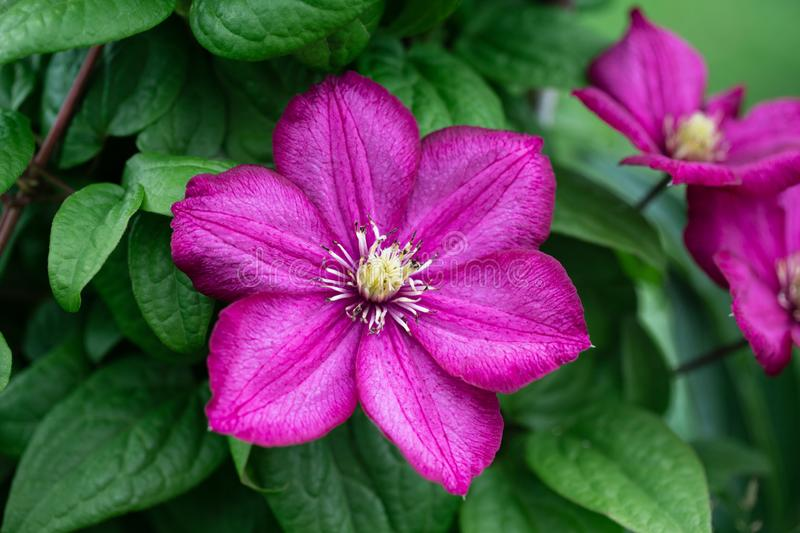Bright pink clematis, flower nature background. Garden climbing flowers with white stamens. Clematis on a green blurred background stock photo