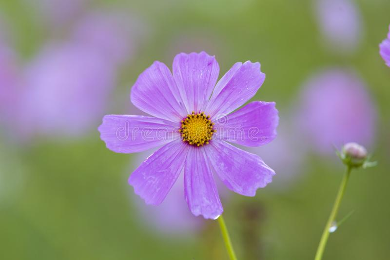 Bright pink cosmos flower. South Africa stock photo