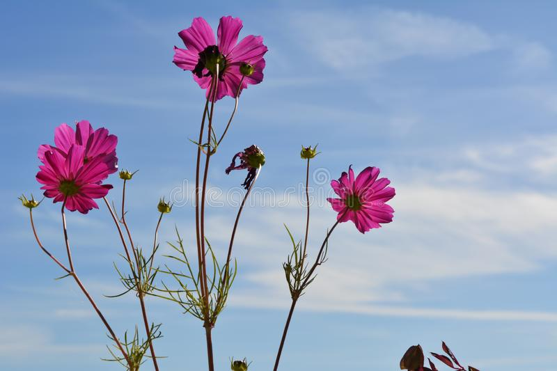 Bright pink cosmos flowers on the background of blue sky with white clouds. Summer day stock photography