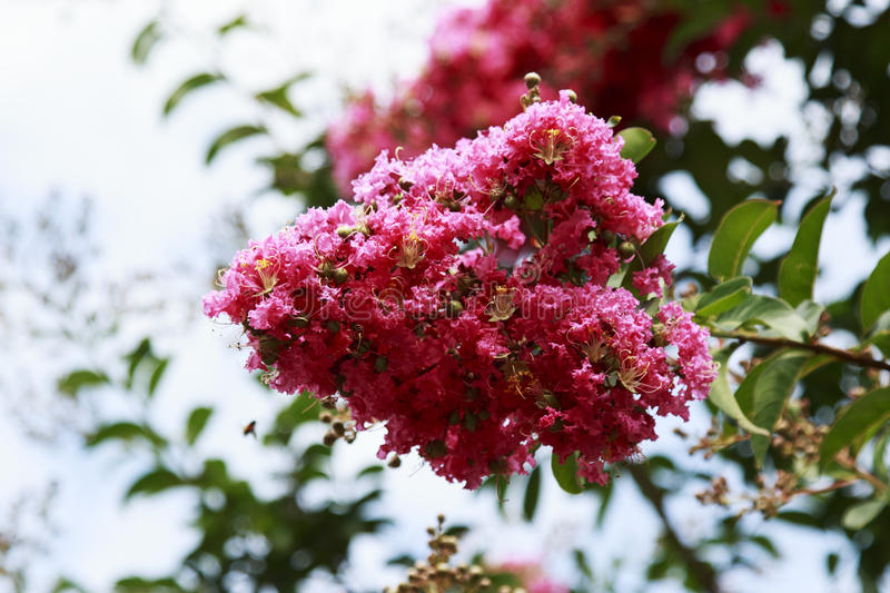 Pink Crepe Myrtle Flowering tree in bloom. Bright Pink Crepe Myrtle Flowering tree in bloom royalty free stock photos