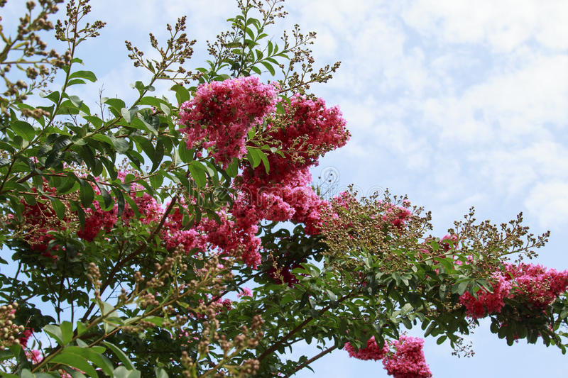 Bright Pink Crepe Myrtle Flowering tree in bloom.  royalty free stock photography